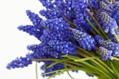 A fist full of grape hyacinths for a cold but beautiful sunshiny day