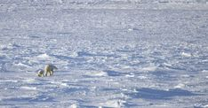 Polar bear mother and cub, Churchill, Manitoba, Canada