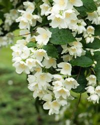 10 Creeping Vines that Provide Privacy. For a sweet scent to lure the humming bird, jasmine will do the trick. #gardenvinesfence