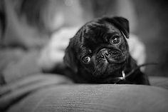 cute black baby pug ♥ Clean pug! Pug Love dog doggie puppy boy girl black fawn funny fat outfit costume