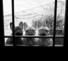 Frenchies are the best