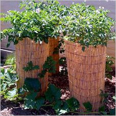 To get started, a single layer of seed potatoes are planted, a few inches of compost and rice straw is added and then as the vines grow taller, they are topped off with more rice straw for the tubers to grow in (no more soil is added).