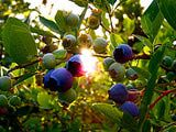 How to grow organic blueberries...includes information about using coffee grounds to make the soil more acidic, which is what we need.
