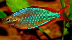 There are more than 50 types of rainbowfish, including the neon dwarf rainbowfish, threadfin rainbowfish, Madagascar rainbowfish, and red rainbowfish. All About Animals, Types Of Animals, Cute Animals, Colorful Fish, Tropical Fish, Australian Rainbow Fish, Large Fish Tanks, Tetra Fish, Freshwater Aquarium Fish
