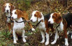 Deutsche Bracke / German Hound Dogs