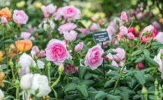 This year's Chelsea Flower Show rose garden features an impressive pergola walkway, offset by soft rose hedges. Rose Hedge, Chelsea Flower Show 2018, David Austin Roses, Garden Features, English Roses, Hedges, Planting Flowers, Exhibit, Plants