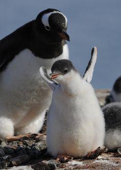 Gentoo Penguin with her happy baby!