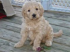 Miniature Goldendoodle - just saw two of these in person.  SO adorable!!!
