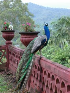 Peacock in New Govardhan Retreat, Brisbane - Australia. I will have my own Peacocks. With Gods help. Pretty Birds, Love Birds, Beautiful Birds, Animals Beautiful, Peacock Images, Peacock Pictures, Peacock And Peahen, Peacock Bird, Exotic Birds