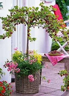 Grow edibles amongst your patio flowers - here pink verbana makes a decorative trim for a standard red gooseberry