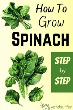 If you are wondering how to grow spinach and care for them then keep on reading. From choosing the right variety to growing it, this detailed guide covers everything spinach.