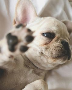 """""""Talk to the Hand"""", Current Mood, sassy French Bulldog Puppy, www.frenchbulldogbreed.net"""