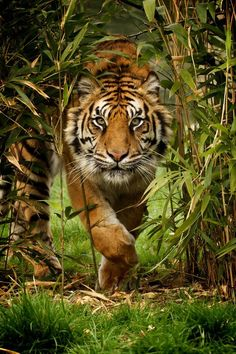 A female sumatran tiger approaches through the bamboo.  This is Puna, and was shot as part of a photography day at the wonderful Big Cat Sanctuary in Kent