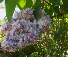 Belle de Nancy Lilac at the Hulda Klager Lilac Gardens in Woodland, Washington.  This was gorgeous and my favorite variety.  Would love to have one in our garden!