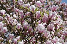 Lovelly Magnolias, in one of the London's parks.  #magnolia #trees #flowers #London #ogrodnictwo #gardenig #gardeningblog #blogogrodniczy