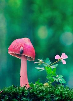 Pink Fairy mushroom in the rain