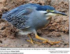 Striated Heron, Butorides striata, also known as Mangrove Heron or Little Heron