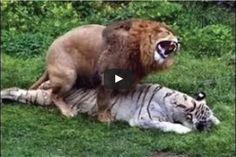 Animal Fight to Death - Lion vs Tiger Real Fight in Jungle I HOT Battle | SK4News (Srok Khmer For News)