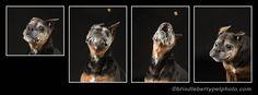 © BrindleBerry - Custom Pet Photography | Pet Studio Photography | Photography Calgary, Alberta Canada | Facebook Cover | www.brindleberrypetphoto.com