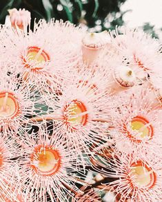 gum trees / i love australian native flowers / Australian Native Garden, Australian Native Flowers, Cactus, Floral Photography, Dream Garden, Illustrations, Planting Flowers, Flower Arrangements, Beautiful Flowers