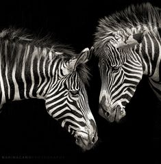 Zebra Photo by Photographer Marina Cano Beautiful Creatures, Animals Beautiful, Animals And Pets, Cute Animals, Zebra Painting, Black And White Pictures, Black White, White Zebra, Mundo Animal