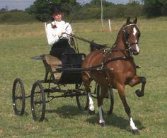 Cowstead Meteor-Hackney Pony | Hackney Horse Show Photos