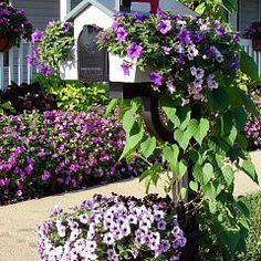 This year we planted Surfinia petunias in the mailbox planter and they… :: Hometalk