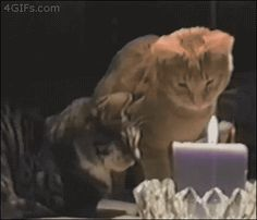 Because of this cat who didn't even let his buddy blow out its birthday candle. | 22 Reasons No Animal Can Be Trusted