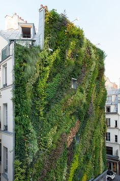 Vertical garden wall in full bloom. 2,700 square feet of an 82-foot-tall wall with 236 different kinds of plants. By Patric Blanc on rue d'Aboukir in Paris