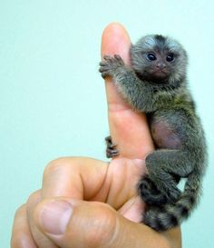 finger monkey .. WHen Blake calls this picture shows up with his face :)