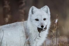 Beautiful Arctic fox with a lemming for dinner. Pet Fox, Arctic Fox, Pet Birds, Husky, Wildlife, Dads, Photo And Video, Foxes, Illustration