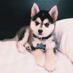 """This pin was labelled """"a full grown pomsky."""" THIS IS A HUSKY OR MALAMUTE PUPPY. This is not an adult dog. BUT if you are in love with these """"pomsky"""" pics, check out the Alaskan Klee Kai! It might just be the right dog for you! Teacup Pomeranian Husky, Pomsky Puppies, Cute Puppies, Cute Dogs, Dogs And Puppies, Husky Puppy, Doggies, Husky Mix, Puppys"""