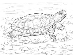 Red Eared Slider coloring page from Turtles category. Select from 27977 printable crafts of cartoons, nature, animals, Bible and many more.