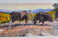 Tom Merriam original watercolor of 2 male moose in a death trap.  Available at Harvest Gold Gallery Maine