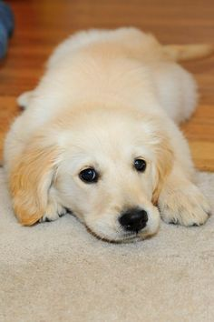 golden retriever pup