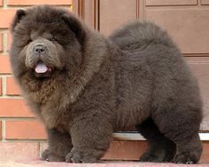 """Blue Chow Chow Puppies 