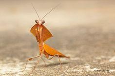 Dead leaf mantis - Kubah by melvynyeo