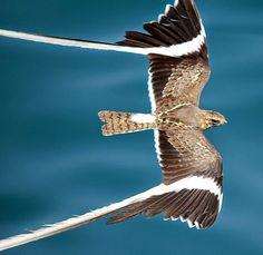 The Male Pennant Winged Nightjar