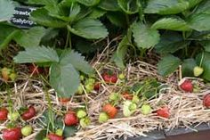 Growing strawberries in your garden from the article Start a Strawberry bed from growveg.com.. Now is the perfect time to do it..