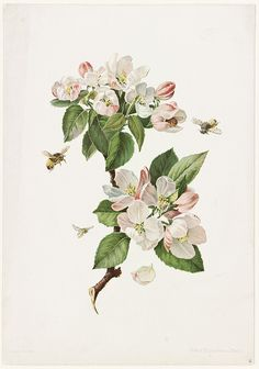 Vintage Botanical bee and beehive art Decoupage, Botanical Drawings, Botanical Prints, Apple Blossom Tattoos, Apple Tattoo, Plant Drawing, Drawing Flowers, Hunger Games, Flower Art