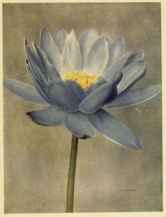 Giant Water Lily. Gardeners' chronicle. 1913 | nemfrog