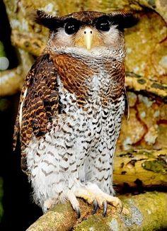 A Malay eagle owl