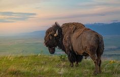 King of the Hill: An American Bison on the National Bison Range, Moiese, Montana.