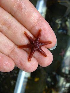 Henricia sanguinolenta (Atlantic Blood Star) | Between the Tides of Nova Scotia