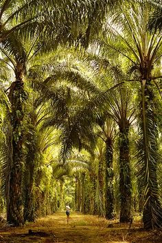 Palm Oil Plantation, Ipoh Perak, Malaysia Source by estherjulee Malaysia Travel, Asia Travel, Work Travel, Kuala Lumpur, Places To Travel, Places To See, Penang, Les Philippines, Tree Tunnel
