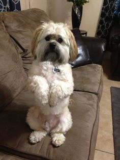 what does a shih tzu dog look like 1000 ideas about lhasa apso on pinterest shih tzu shih 3724