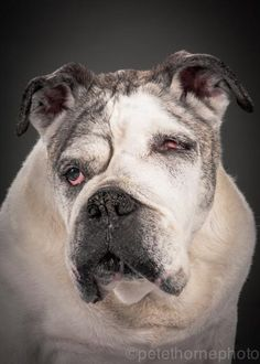 'Old Faithful': Featuring Portraits of Very Old Dogs by Pete Thorne Dog Photos, Dog Pictures, I Love Dogs, Cute Dogs, Awesome Dogs, Chihuahua, Old Faithful, Old English Bulldog, Old Dogs