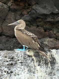 Piquero patas azules. San Cruz #Galapagos #TakenByMyIphone