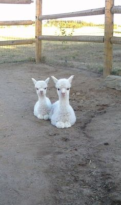 These little alpacas are doubling as cotton balls.