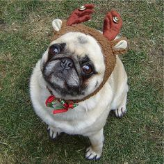 Pug Love Photos Of Pugs images Pug Compact Reindeer wallpaper and ...